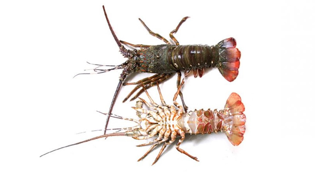 Lobster pakistan