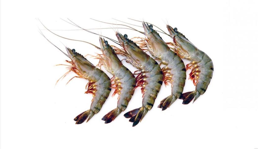 jual ikan laut udang